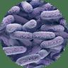 Enterobacter Species-1